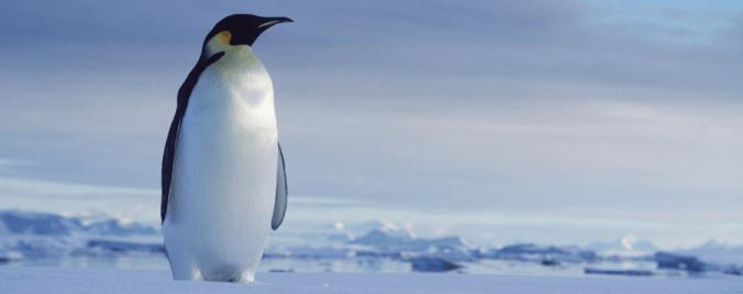 adopta_pinguino