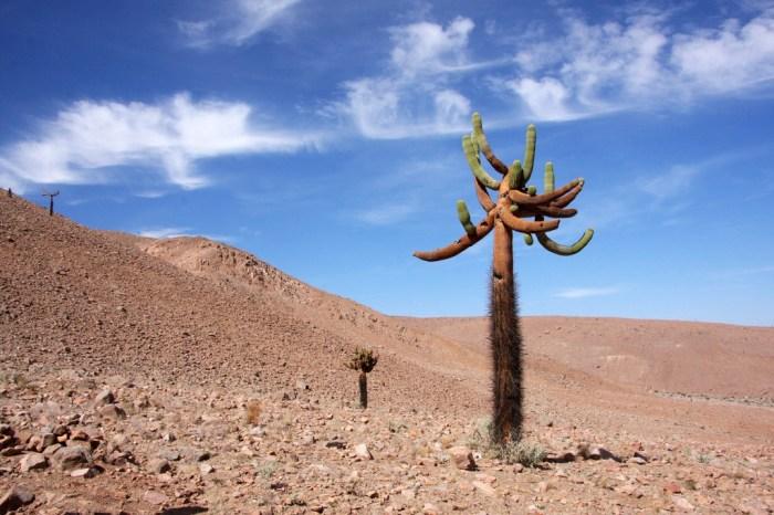 cactus-candelabro